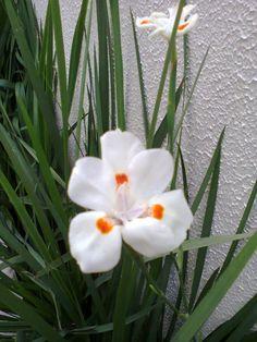 Linda Orquidea de chão branca
