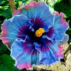 100pcs/bag Giant Hibiscus Flower Seeds