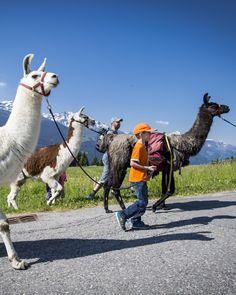 Lama Trekking für die ganze Familie. Foto: nordlichtphoto.com Pictures, Families, Summer Recipes, Animals