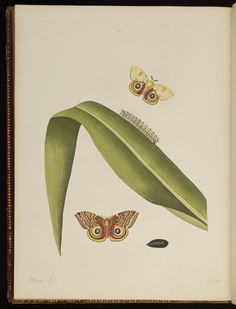 Plate 49 from The natural history of the rarer lepidopterous insects of Georgia. Including their systematic characters, the particulars of their several metamorphoses, and the plants on which they feed. Collected from the observation of Mr. John Abbot, many years resid · Smith, James Edward, 1759-1828 · 1797 · Albert and Shirley Small Special Collections Library, University of Virginia.