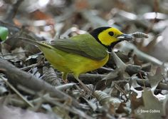 Hooded Warbler (saw my 1st one in Letchworth St Park, but have seen this in a few other places.  One of my favorites)