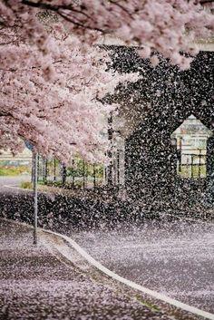 Сакура-фубуки в Японии сакура, япония, Природа, цветение сакуры, фотография, длиннопост