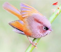 taiwan fulvetta (source : instagram)