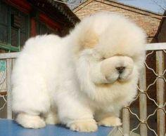 Cream Chow Chow puppy. he looks like a big fluff ball!!! :)
