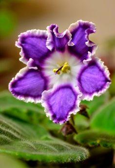 Sonata-kolchuga African violet