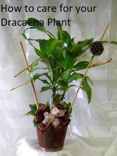 How To Care For Your Dracaena Plant By Www.EnchantedFloristPasadena.com