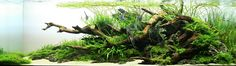 aquascaping for angelfish - Google Search