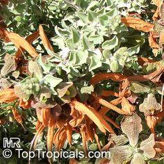 Salvia africana lutea, Brown Salvia, Beach Salvia, Dune Salvia, Golden Salvia