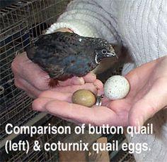 Comparison of button quail and coturnix quail eggs (button egg on left).
