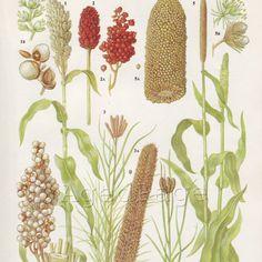 Vintage Botanical Chart Print, Book Illustration to Frame, Natural Science Home and Garden Decor, Sorghum Millet 11. $10.00, via Etsy.