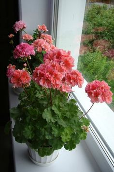 Geraniums Garden, Red Geraniums, Garden Pots, Tiny Flowers, Love Flowers, Beautiful Flowers, Pink Geranium, Geranium Flower, Pot Plante