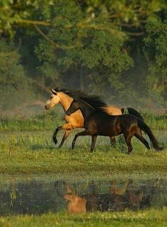 Horses, heste, running, beautiful, gorgeous, grass, water, reflection, nature, photograph, photo