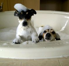 Jack Russells taking a bath.... the one on the left looks like bruno!!
