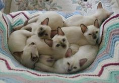 tonkinese - Google Search Kittens Cutest, Cats And Kittens, Cute Cats, Oriental Cat Breeds, Baby Animals, Cute Animals, Tonkinese Cat, Domestic Cat, Siamese Cats