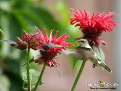 hummingbirds at Bee Balm