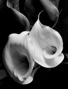 Two Callas, c. 1925, Imogene Cunningham