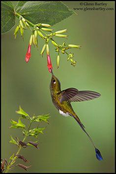 ~~Booted Racket-tail Hummingbird by Glenn Bartley~~