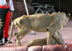 No to abuse of animals in circuses.