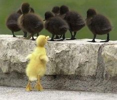 Will and Guy's funny duck pictures. Yellow ducks, black ducks and naturally, ducklings. Look out for the yellow ducks race, also the dog and duck picture. Farm Animals, Funny Animals, Cute Animals, Funny Birds, Girl Scout Troop, Girl Scouts, Scout Leader, Beautiful Birds, Animals Beautiful