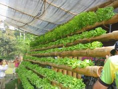 Hydroponic gardening or hydroponics is the science of growing plants using only nutrient-rich liquid as a soil replacement. Learn about hydroponics here. Home Hydroponics, Hydroponic Farming, Backyard Aquaponics, Hydroponic Growing, Hydroponics System, Growing Plants, Growing Bamboo, Aquaponics Plants, Hydroponic Lettuce