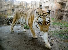 Amur tiger at Erie, PA Zoo; photo by Greg Wohlford