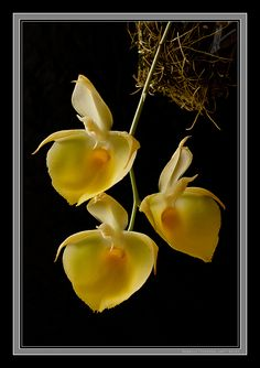 Orchid Catasetum pileatum 'Oro Verde', by Stephen Jay