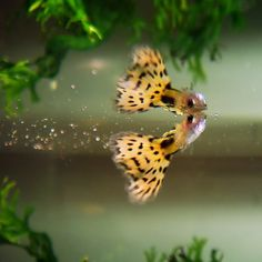 Guppy in yellow, under the water surface. There are such beautiful fish.