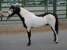 Miniature horse with Overo Frame markings All The Pretty Horses, Most Beautiful Horses, Animals Beautiful, Horse Markings, Rare Horses, Majestic Horse, White Horses, Mundo Animal, Horse Pictures