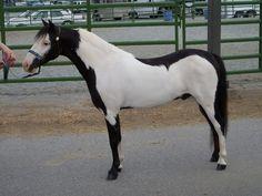 Miniature horse with Overo Frame markings All The Pretty Horses, Most Beautiful Horses, Animals Beautiful, Rare Horses, Tiny Horses, Horse Markings, Majestic Horse, Horse World, Mundo Animal