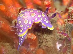 The Sea Slug Forum - Chromodoris luteorosea