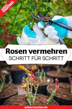 Step instructions for increasing roses- Schritt-Anleitung zum Rosen vermehren It is not difficult to multiply roses with cuttings. Here you can find out what needs to be considered. Garden Types, Terrariums Diy, Landscape Design, Garden Design, Hair Rainbow, Landscaping Trees, Hydrangea Care, Backyard Plants, Planting Roses