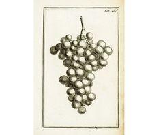 1797  Gravure Originale Raisin Fruit Vigne Planche Ancienne Eléments Botanique Tournefort decor affiche cuisine de la boutique sofrenchvintage sur Etsy
