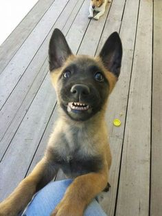 Belgian Malinois- look at that face! Berger Malinois, Belgian Malinois Puppies, Shepherd Puppies, German Shepherd Dogs, I Love Dogs, Cute Dogs, Belgium Malinois, Baby Animals, Cute Animals