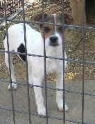 Mommy's pup is an adoptable Jack Russell Terrier Dog in Hartselle, AL. Posted 12/25/10 2 pups age 11 weeks. See mommy listed. The white Puppy is available. She is a playful loving little girl. ...