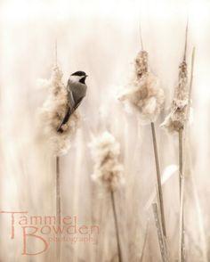 Chickadee in the Marsh - Original Photograph - Soft Sweet Cream Beige Tan…