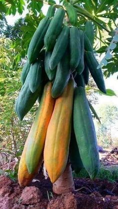 There are three different tree species, male plants, female plants and bisexual plants. The female and bisexual plants are the only ones that make fruit.The Papaya tree is a tropical fruit that originated in Mexico and South America. It is now grown Fruit Plants, Fruit Garden, Fruit Trees, Weird Plants, Exotic Plants, Types Of Fruit, Fruit And Veg, Weird Fruit, Papaya Tree