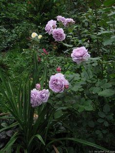 Photo of the rose 'Novalis ' Beautiful Roses, Simply Beautiful, Beautiful Gardens, David Austen Roses, Garden Animals, Lavender Roses, Rose Photos, Love Rose, Dream Garden