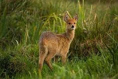 The Broads are renowned for their biodiversity in fact the area is home to more than quarter of the rarest wildlife in the UK. Find out more about the wildlife that thrives in and around The Broads. Wild Life, Water Deer, Norfolk Broads, Kangaroo, Fox, Animals, Woods, Chinese, Baby Bjorn