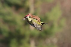 Baby weasel riding a woodpecker