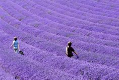 Lavender field- hard to believe it's real. So beautiful.