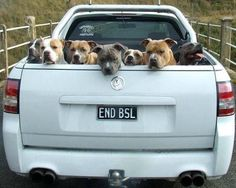 A truck full of pitties! This is THE BEST!