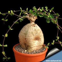 Image from http://www.cactuspedia.info/schede/FOCKEA/Fokea_edulis/Fockea_edulis/Fockea_edulis_810.jpg.