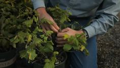 Video: How to Protect Raspberries