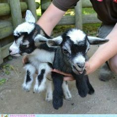Pigmy goats make excellent and amusing pets.or three. Mini Goats, Cute Goats, Baby Goats, Farm Animals, Animals And Pets, Funny Animals, Pigmy Goats, Chamois, Nigerian Dwarf Goats
