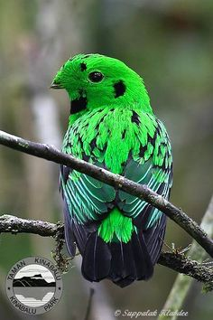 The Whitehead's Broadbill (Calyptomena whiteheadi) is a species of bird in the Eurylaimidae family. It is restricted to montane forest in northern It is the largest member of the genus Calyptomena. It is named after the British explorer John Wh Kinds Of Birds, All Birds, Little Birds, Love Birds, Angry Birds, Pretty Birds, Beautiful Birds, Animals Beautiful, Cute Animals