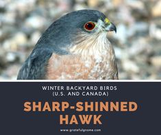 The Sharp-Shinned Hawk is a small hawk, with males being the smallest hawks in the United States and Canada. Raptor Bird Of Prey, Birds Of Prey, Exotic Birds, Colorful Birds, Bird Barn, Barn Owls, Flamingo Bird, Backyard Birds, Parakeets