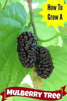 All about how to grow a mulberry tree and how to use the wonderful, nutritious, drip off your elbow fruit or the juice it creates. Grow yours today!