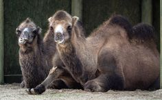 Bactrian Camels Have The Longest Wool Coats