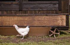 Poule du Sussex