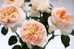 #Juliet - David Austin cut Rose collection. Order them online @ http://www.parfumflowercompany.com/
